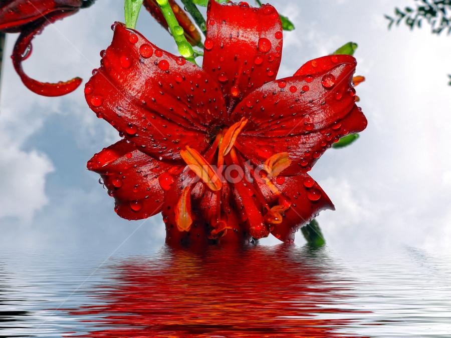 red lily by LADOCKi Elvira - Digital Art Things ( flowers,  )