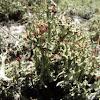 Brithish soldier lichen