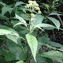 Swamp Milkweed or joe pye weed