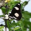 Danaid Eggfly /Mimic /Diadem - Male
