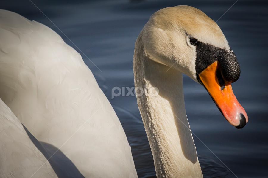 Mute swan portrait by Marko Tamela - Animals Birds ( picture, water, mute swan, nature, white, swan, lake, birds, portrait )