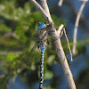 Blue-eyed Darner (male)