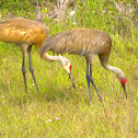 Sandhill Crane (juvenile siblings)