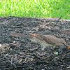 Northern Mockingbird (Cenzontle)