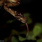Cat snake (aka Indian Gamma)