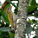 Yellow-eared Woodpecker