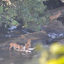 The dhole
