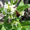 Grosser Wollschweber (Large Bee Fly)