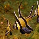 Banggal Cardinal Fish