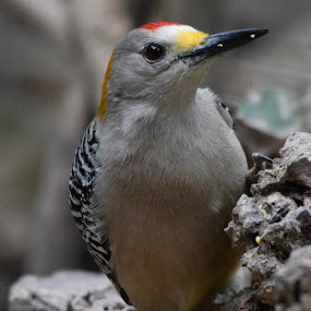 Golden-Fronted Wodpecker by David Montemayor - Animals Birds ( woodpecker, birds, golden-fronted,  )