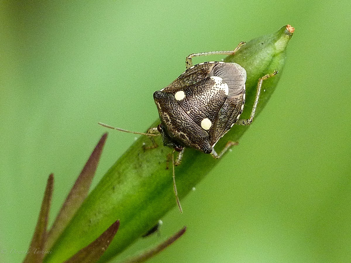 Two-spotted Sesame Bug