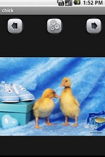 chick Wallpaper - screenshot thumbnail