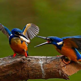 Half-collared Kingfisher  Alcedo semitorquata by Chris Krog - Animals Birds ( blue, collared, kingfisher, alcedo )