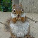 America Red Squirrel