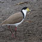 Masked lapwing or Spur-winged plover