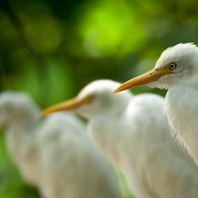 White egret by Zam Foto - Animals Birds ( bird, avian, closeup, egret, animal,  )