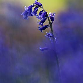 blue bells by Melchiorre Pizzitola - Flowers Single Flower ( flowers/nature/wildlife/bluebells/colors )
