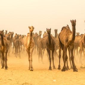 Heading Home From Bazaar Day by Avanish Dureha - Animals Other Mammals ( camel fare, pushkar, rajasthan, dureha@gmail.com, camels, india, avanish dureha )