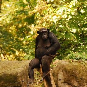 Tired Gorilla by Sebastian Mezei - Animals Other ( nature, gorilla, forest, monkey )