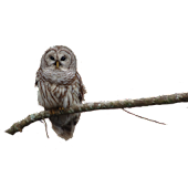 Owl on Branch Sticker