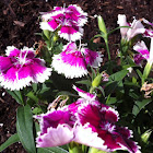 Clover Pink or Carnation