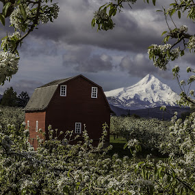 Cherry blossom frame of Mt Hood  by George Herbert - Landscapes Mountains & Hills