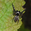 Bronze Lake Jumping Spider