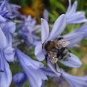 Large garden bumblebee ♀