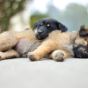 Brother - Sisters by Sandeep Nagar - Animals - Dogs Puppies ( puppies, brown, cute, dog, black, baby, young, animal, #GARYFONGPETS, #SHOWUSYOURPETS, sleeping, sleep, rest, resting,  )