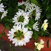 Scaveola, Fairy Fan Flower