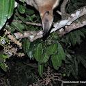 Oso mielero (Southern Tamandua)