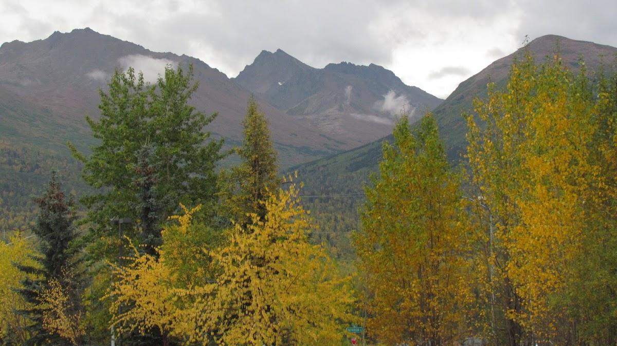 Alaska Birch tree