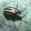 Tobacco slug beetle