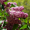 Butterfly Bush/Buddleia