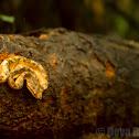 Malabar pitviper