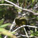 New Zealand Bellbird (Korimako)