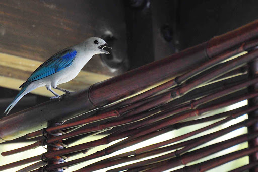 Blue-grey Tanager near Quepos, Costa Rica