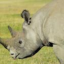 Black Rhino - Faru(Swahili)