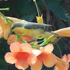 Purple sunbird (Female)