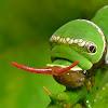 Common Mormon catterpillar