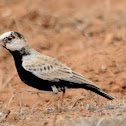 black-crowned sparrow lark(juvenile)