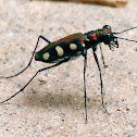 Common Tiger Beetle