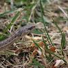 Wandering gartersnake