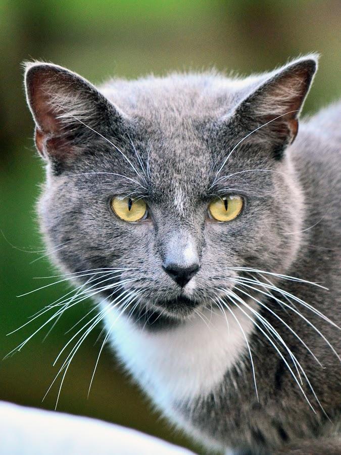 Cat by Hannah Williams - Animals - Cats Portraits ( cats, cat )