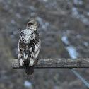 Bald Eagle (discoloration)