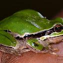Arabian Tree Frog