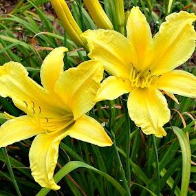 Sunburst Blooms by Regina Watkins - Flowers Flower Gardens