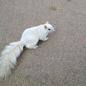 Eastern Gray Squirrel (leucistic)