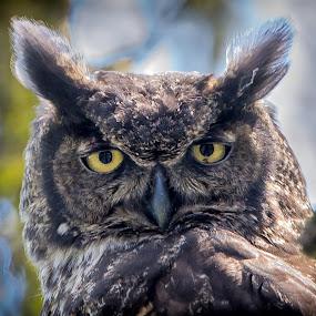 Mama Owl by Gary Davenport - Animals Birds ( gho, great, owl, horned, closeup,  )