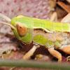 grasshopper, saltamontes